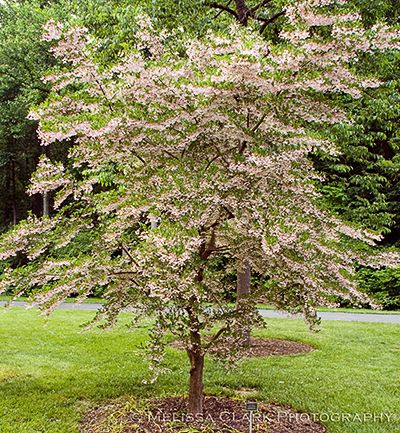 The lovely snowbell japanese gardens and plants for Small japanese tree