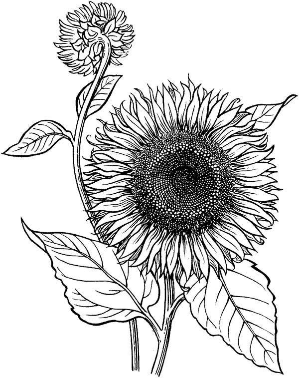 sonnenblume sonnenblume  sonnenblumen malerei