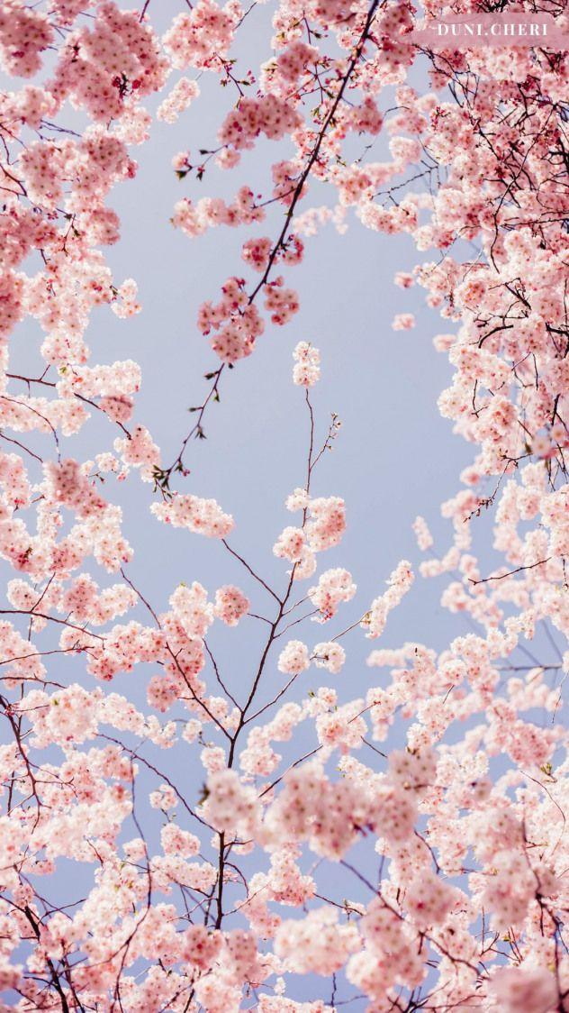 Cherry Blossom Wallpaper Free Mobile Japanesegarden Japanese Garden Cherry Blo Cherry Blossom Wallpaper Iphone Background Wallpaper Flower Phone Wallpaper