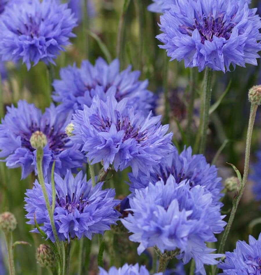 10 Plants And Herbs That Boost Lung Health Heal Respiratory Infections And Even Repair Pulmonary Damage Annual Plants Flower Seeds Container Flowers