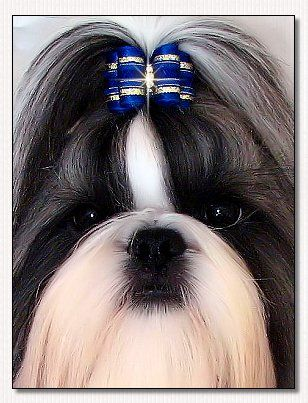 Shih Tzu~Dream Star de Dewa Thang
