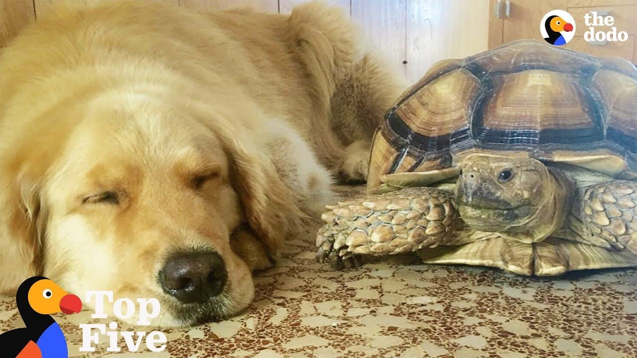 Animal Odd Couples Youtube dog and turtle are best friends + other animal best friends