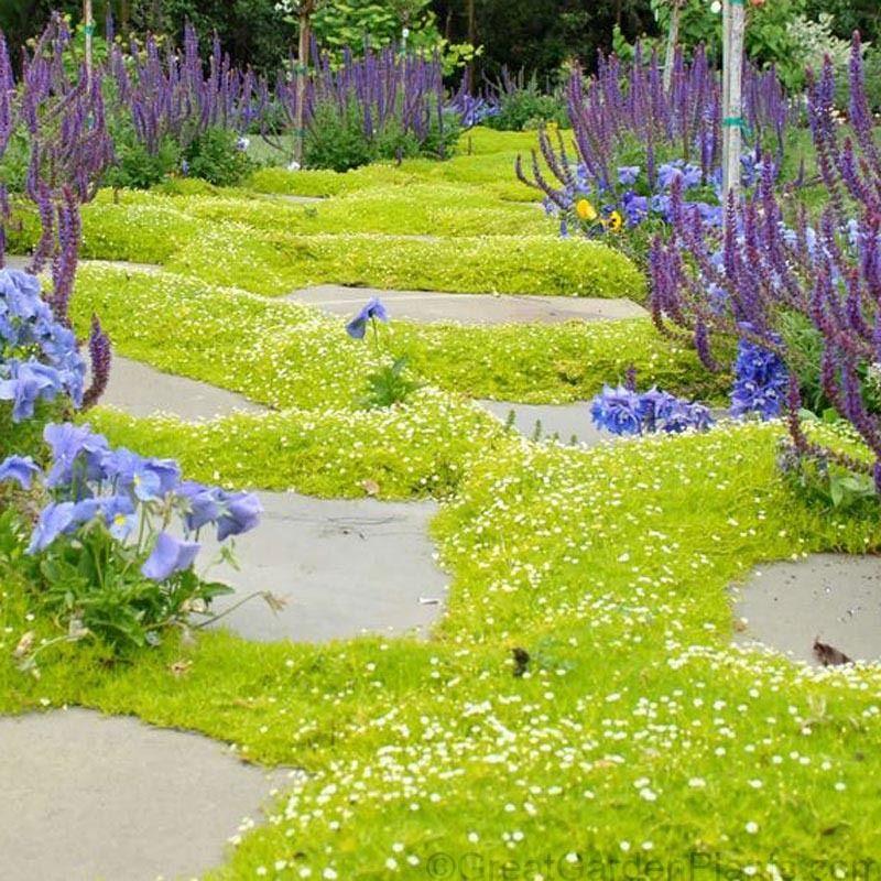 Sagina Subulata Aurea Avec Images Jardin Japonais Jardinerie