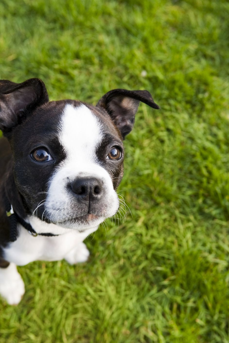 Just 43 Pictures Of Sweet And Fluffy Small Dog Breeds You Ll Want To Snuggle Right Away In 2020 Dog Breeds Terrier Boston Terrier