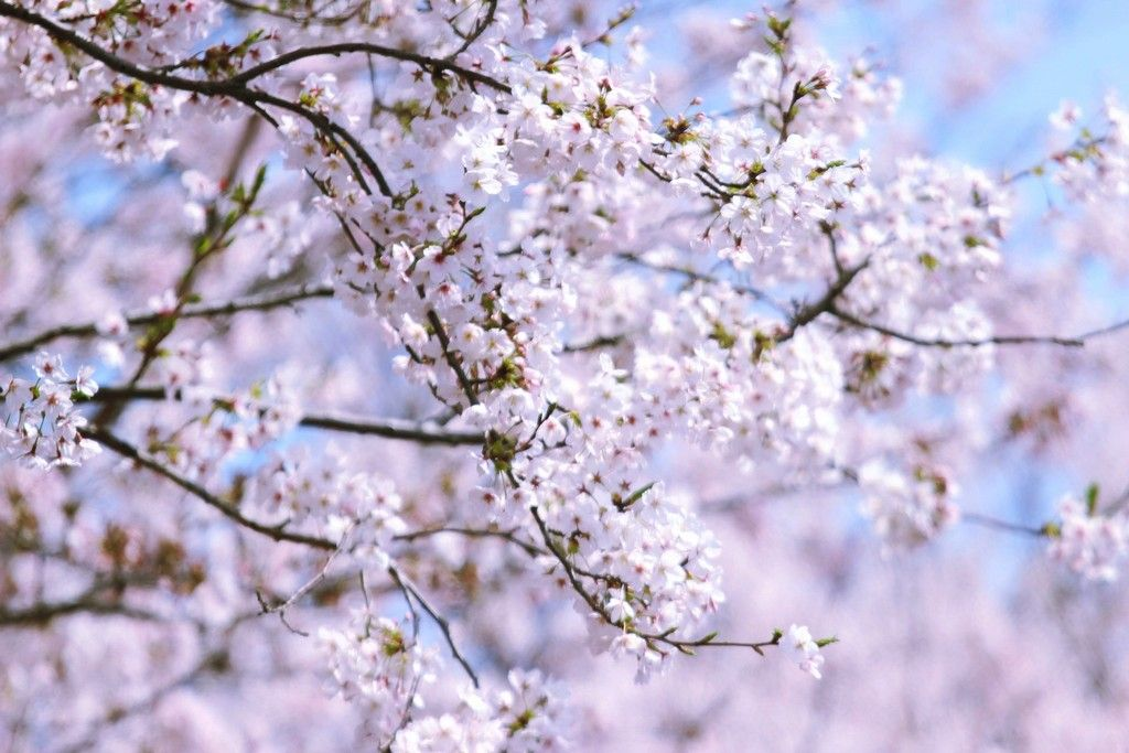 Top 5 Cherry Blossom Festivals In South Korea In 2017 Cherry Blossom Festival Cherry Blossom Blossom