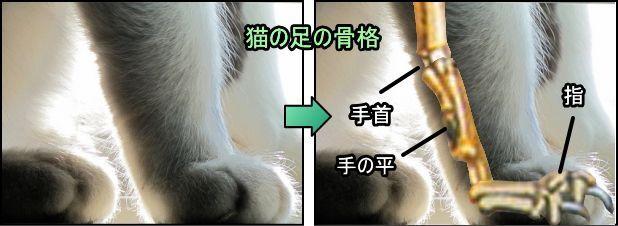 猫の足の骨格 足の裏と思われる部分は 実は指の骨 猫 猫の足 子猫