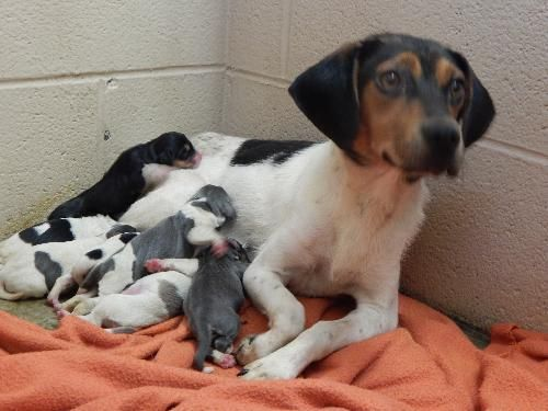 Urgent Please Rescue Penny Her Adorable Baby Beagle Puppies