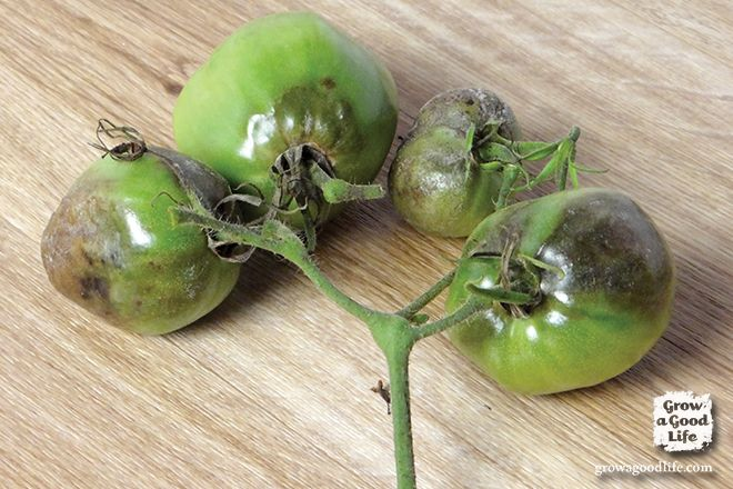 5e4b58d3b523e50bc21e0d8d3217ca15 - How To Get Rid Of Late Blight On Tomatoes