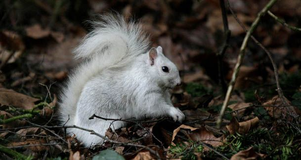 1000  images about Leucistic on Pinterest | Opossum, Sugar gliders ...