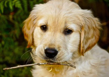 Via The Daily Puppypuppy Breed Golden Retriever We Took Hazel
