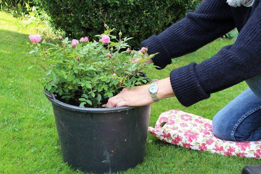 Rosen vor dem Pflanzen tränken - Garten Gadgets Rosen Spezial