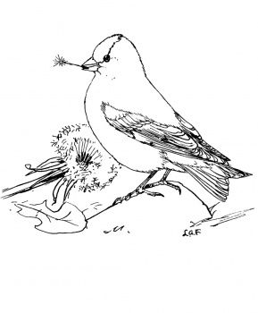 American Goldfinch Feeds Dandelion Seeds Bird Coloring Pages