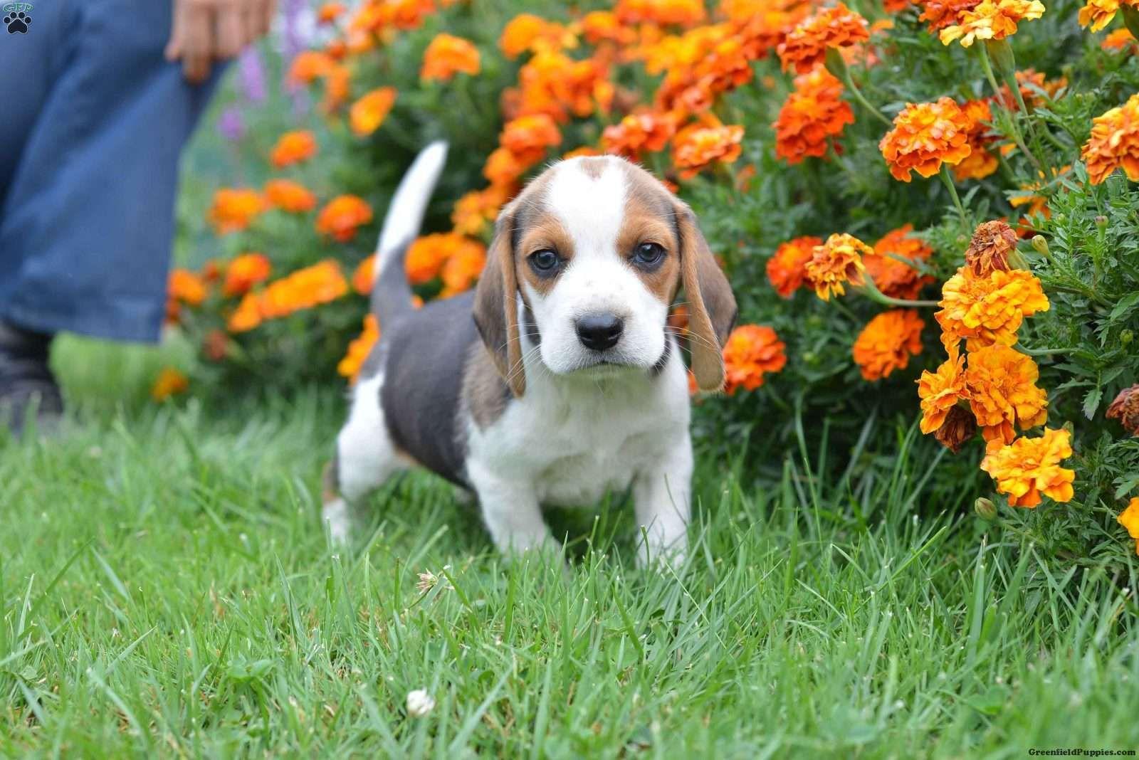 Hodgie Eskipoo Puppy For Sale in Pennsylvania Beagle