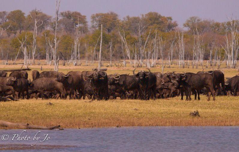Buffalo along the shoreline.
