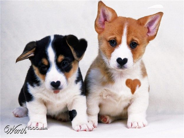 Corgi Puppies They Have Hearts For Noses And The Brown One Has