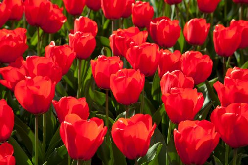 The Surprising Meanings Behind Your Favorite Flowers Tulips Flowers Red Tulips