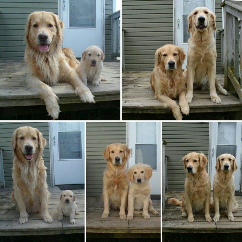 Daisy Growing Up With Her Mom Sandy Love These Golden Retrievers