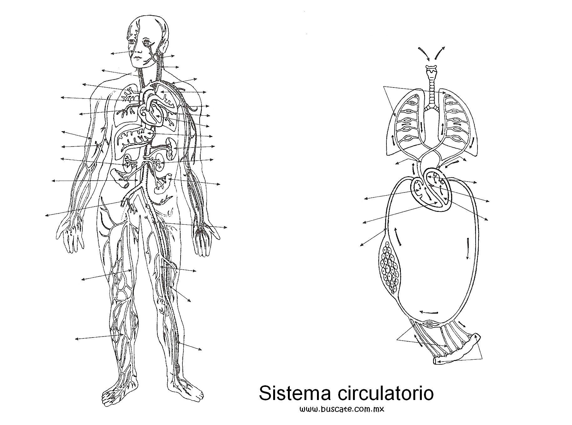 Imagenes Sin Colorear: Sistema Circulatorio Sin Nombres Para Colorear
