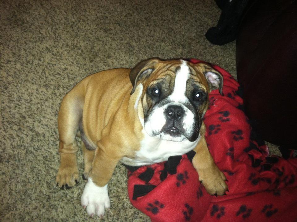 Pin By L M Homespun Crafts On Bulldogs Bulldog Cute Animals