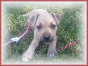 Cinnabon is an adoptable Terrier Dog in Detroit, MI. Cinnabon is a female, Terrier mix puppy. Her D.O.B. is 6/20/12 Cinnabon is a very energetic and playful puppy.She has a great personality and loves...