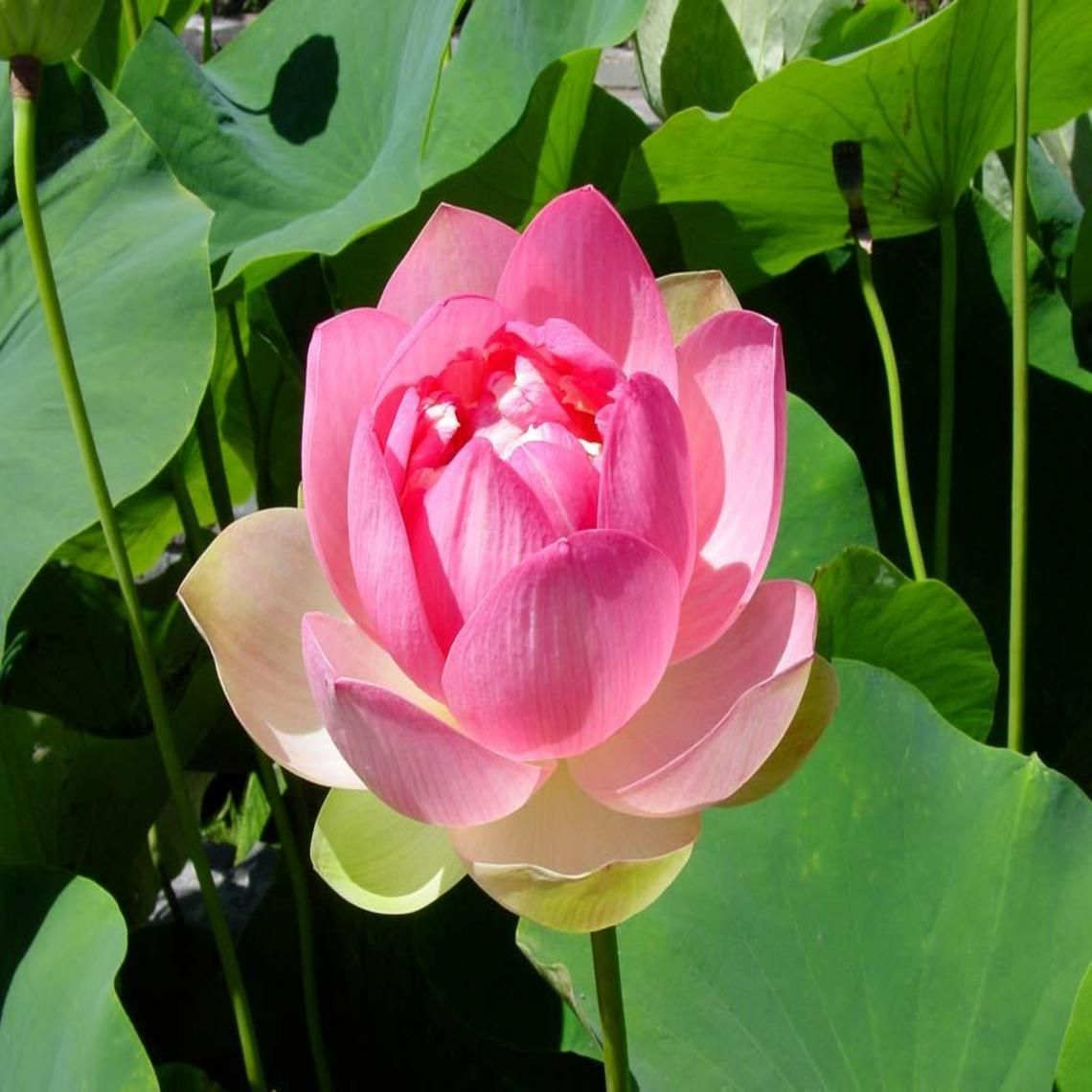 Lotus Flower Wallpaper Pinterest Lotus Flower And Rock