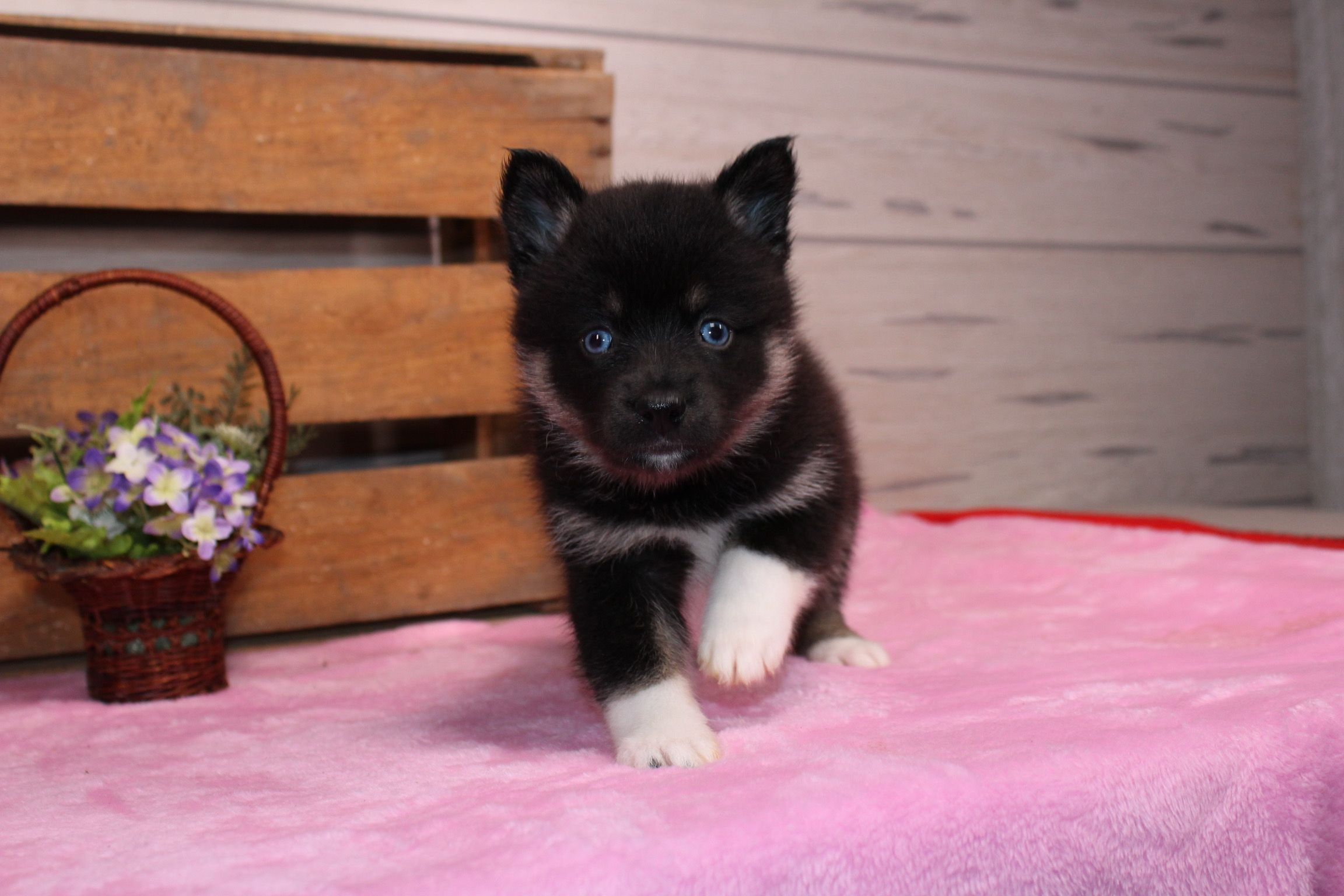 Sakari Pomskys VIP Puppies Puppies, Cute animals