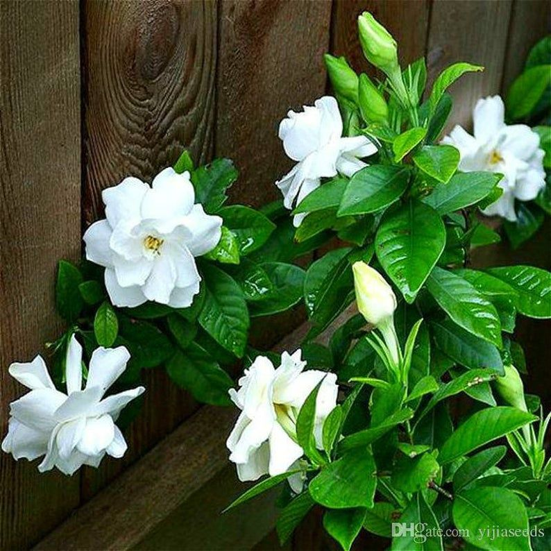 Gardenia Bushes 3gallon Etsy In 2020 Beautiful Flowers Flower Seeds Gardenia Bush