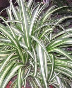Easy Care Houseplants For Busy And Forgetful People Spider Plant