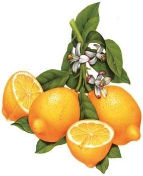 lemon+paintings   Painting, 7x9 in ©2004 by Douglas Schneider - Painting, lemon fruit ...: