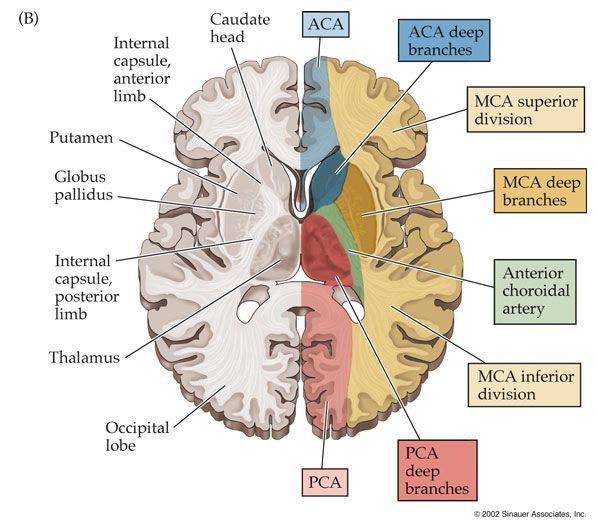 Cerebral Artery Distribution   health - nursing & first aid ...