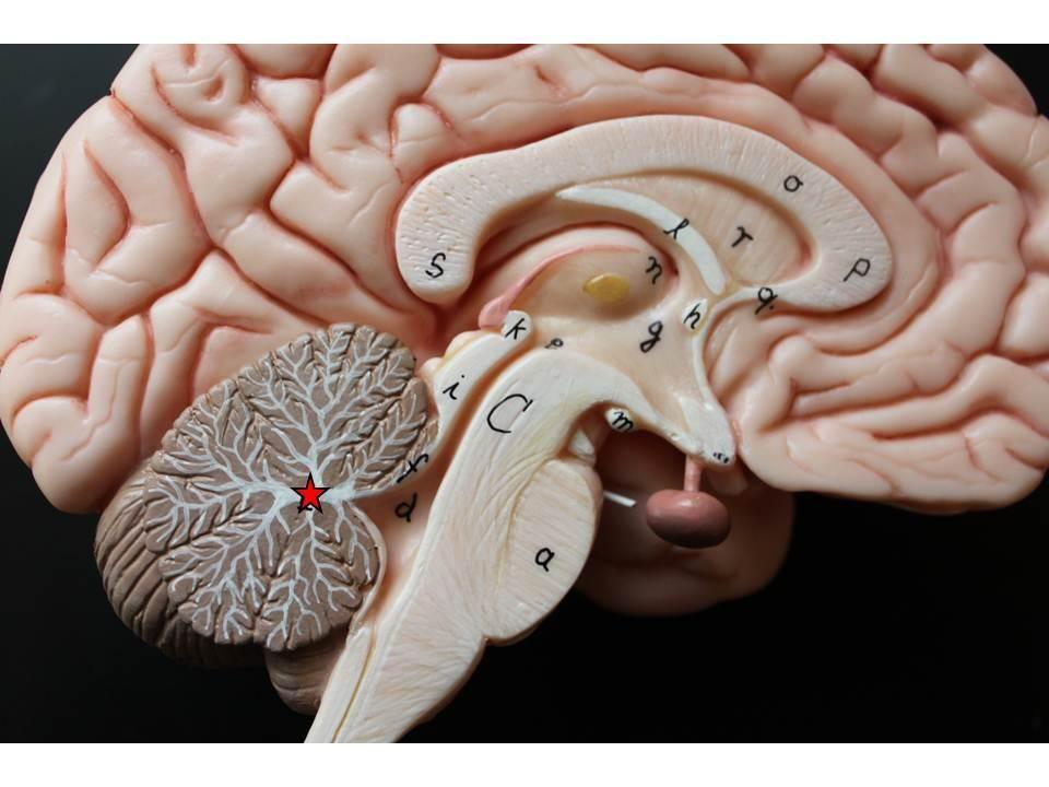 The Arbor Vitae In The Cerebellum Anatomy Pinterest Pineal
