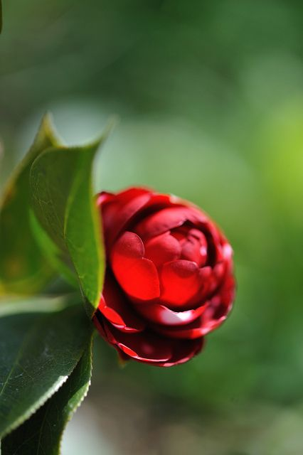 Camellia Japonica Nihon Gami With Images Most Beautiful Flowers Amazing Flowers Flower Garden