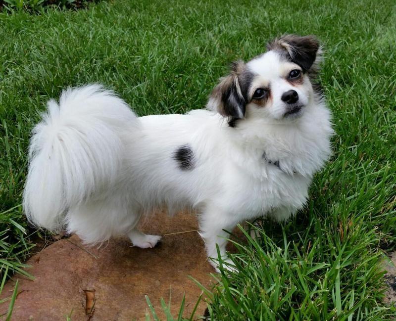 Adopt Laci on Petfinder Dog adoption, Pets, Chihuahua