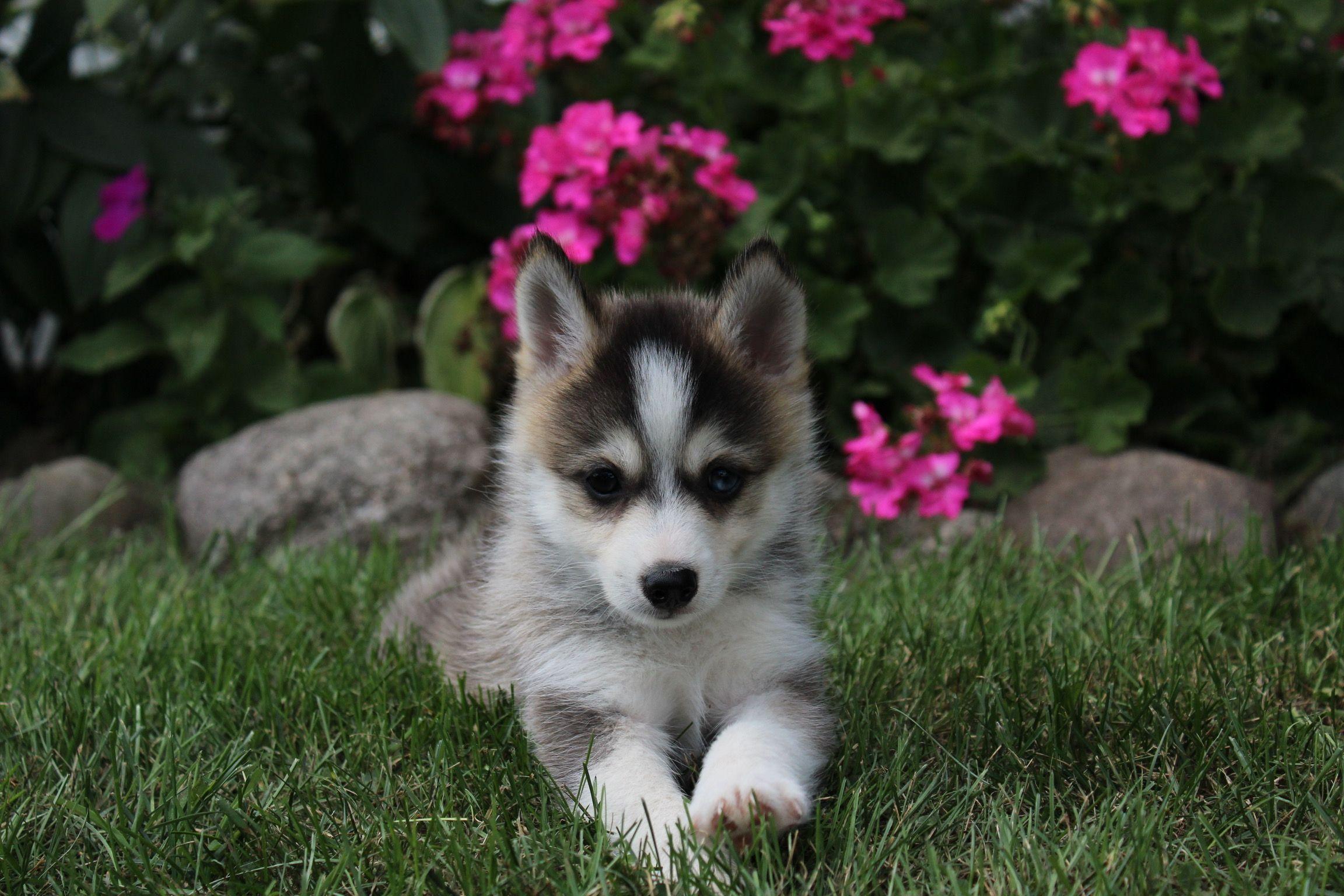 ASDA Toy Aussie puppy for sale in Mason City
