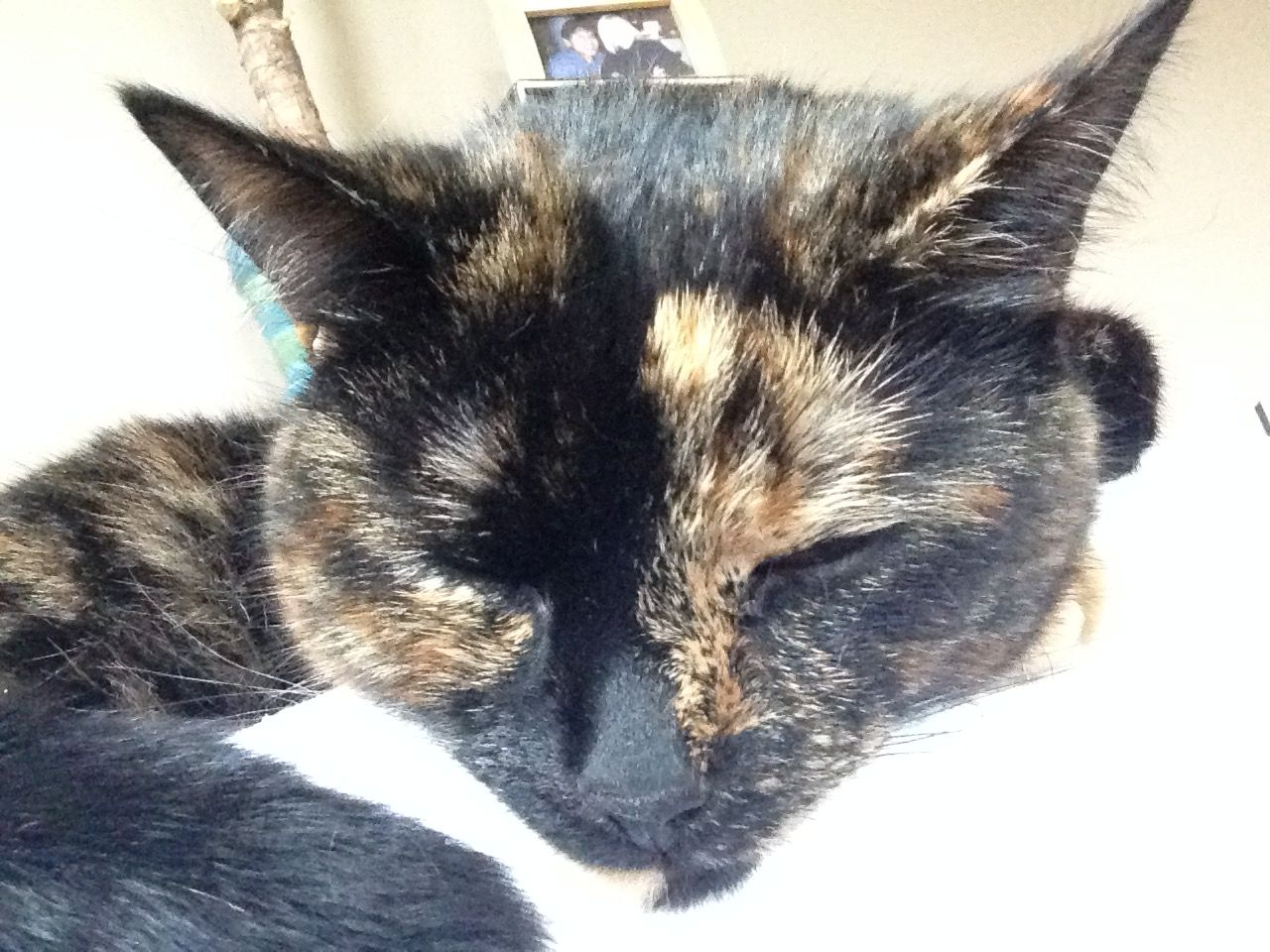 Pin By Karen Davenport On Tortie Cats Animals Cats Calico Cat