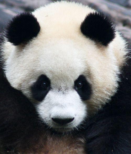 Pin Auf Panda