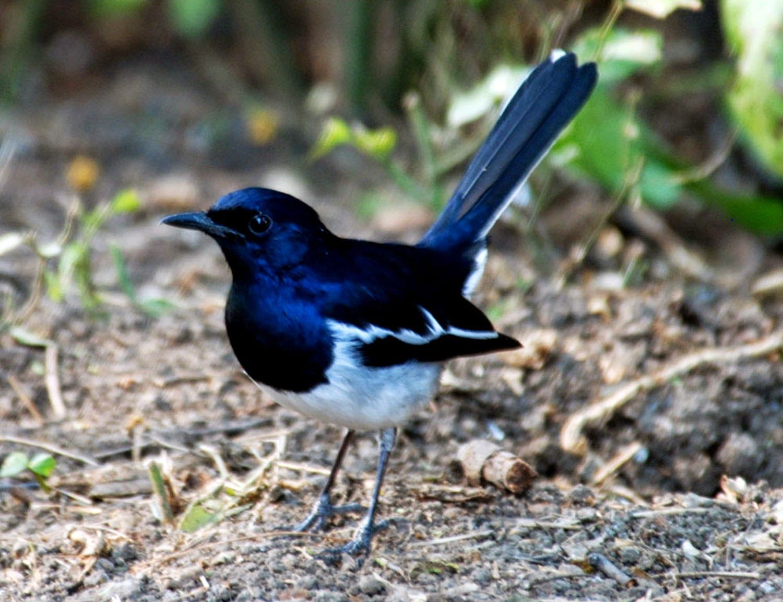 Foto Burung Kacer Burung Burung Cantik