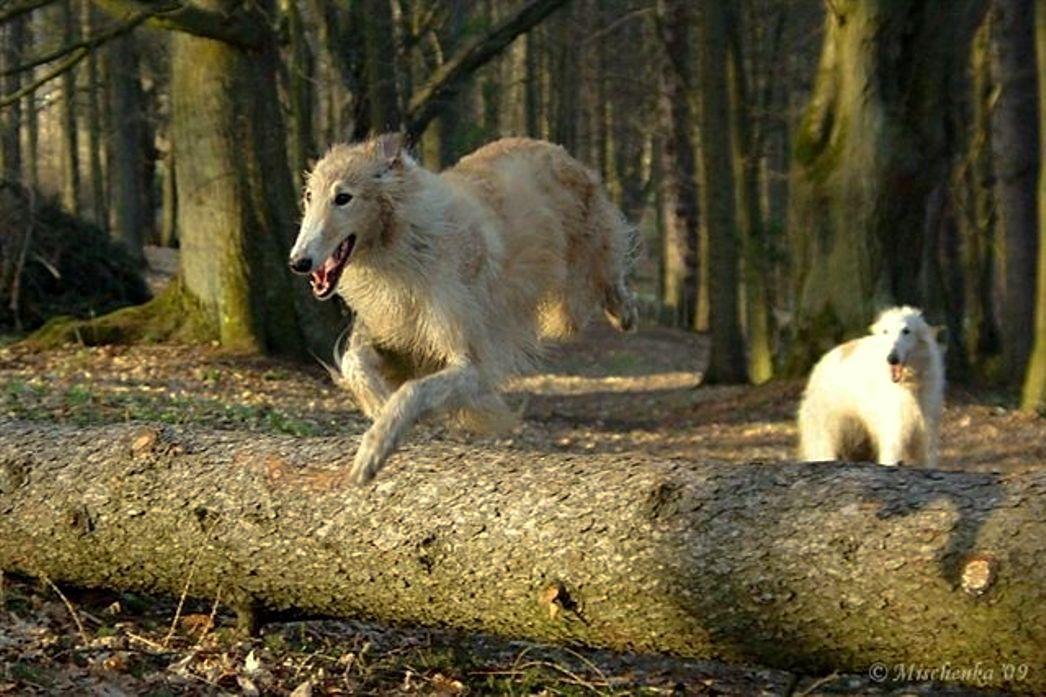 z- by Mischenka - Borzois, 2, Running & Jumping, Lf, 2009