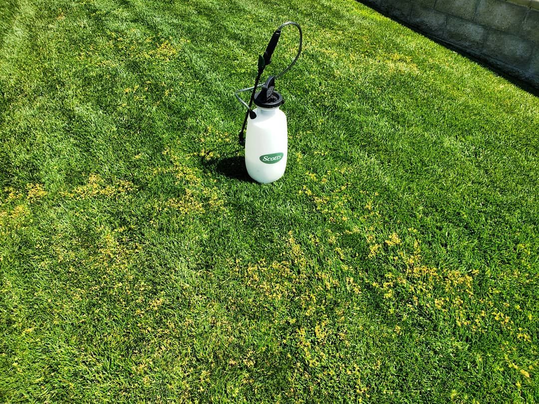 One Of My Favorite Chemicals To Spray Is Turflon To Get Rid Of The Clover And Unwanted Weeds In The Tall Fescue Sod Garden Services Tall Fescue Sod Fescue Sod