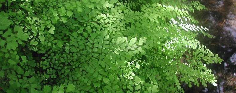 maidenhair fern - They generally prefer humus-rich, moist, well-drained sites, ranging from bottomland soils to vertical rock walls. Many species are especially known for growing on rock walls around waterfalls and water seepage areas.