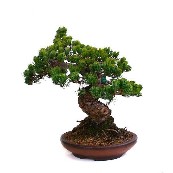 acheter en ligne votre bonsa pinus pentaphylla pin blanc du japon 45 ans 50 cm ppsp1000. Black Bedroom Furniture Sets. Home Design Ideas