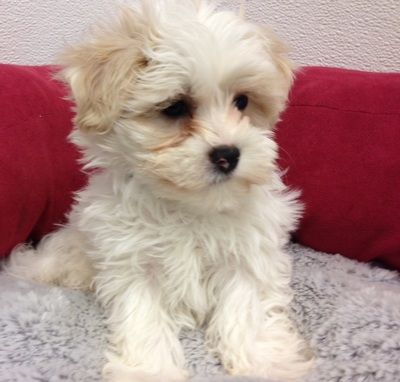 48393 Puppies For Sale Michigan With Images Havanese Puppies