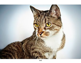 Pictures of Sage a Domestic Shorthair for adoption in New
