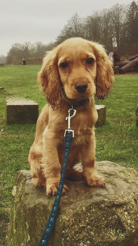 Cocker Spaniel Puppy Fans If This Photo Doesn T Perk Up Your Day