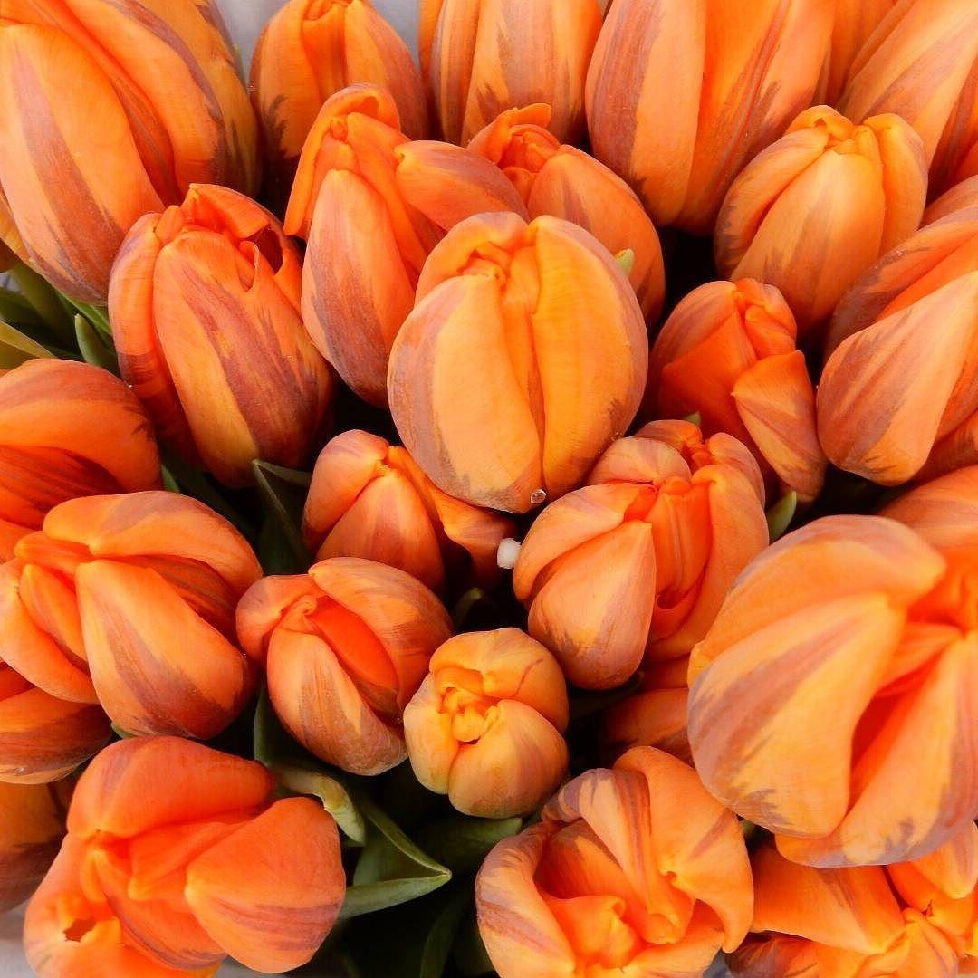 Die sind so schöööön  #tulpe #tulpen #tulips #flowersoftheday #flowerpower #orange##nofilter #nofilters #heute by elfriedepf