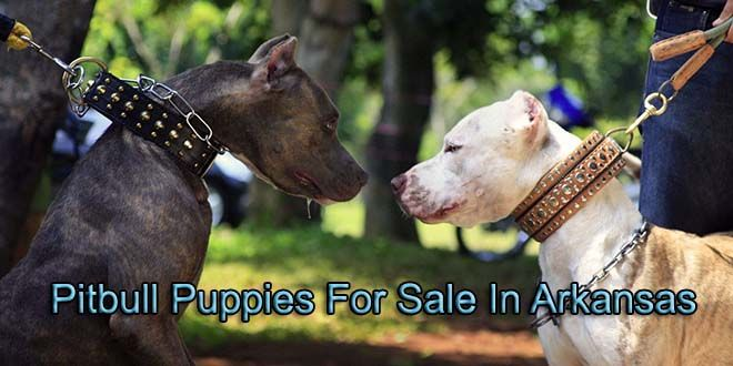 Pin By Pitbull Puppies For Sale On Pitbull Puppies For Sale