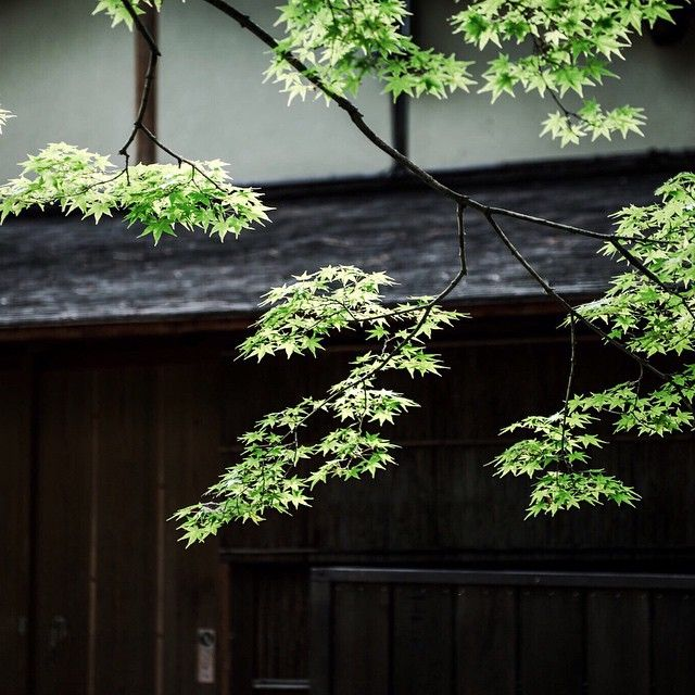 """*ao-momiji (green Japanese maple) in Kyoto Kitano-Tenmangū shrine  #kyotovibes2015  北野天満宮に青もみじを見に行きました✨"" Photo taken by @texturelikemouton on Instagram, pinned via the InstaPin iOS App! http://www.instapinapp.com (06/02/2015)"