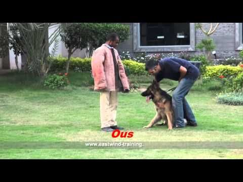 Dog Name / Barney - Eastwind Training  (Protection ) - http://www.7tv.net/dog-name-barney-eastwind-training-protection/