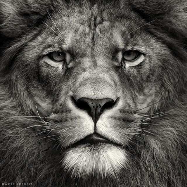 Black and white photography lion images pictures findpik
