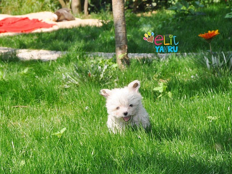 Elit Yavru | Sağlıklı ve iyi kanlardan gelen yavru köpekler, pet satış sitesi http://www.elityavru.com/